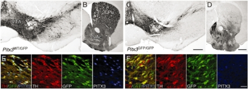 The Pitx3 knockout phenotype. Immunohistochemistry for TH in the adult Pitx3WT/GFP (A, B) and Pitx3GFP/GFP (C, D) brain. In Pitx3GFP/GFP mice there was a distinct loss of TH+ neurons throughout the substantia nigra (compare A and C) and a corresponding loss of TH+ terminals in the dorsolateral striatum (compare B and D). Immunohistochemistry for TH (red), GFP (green) and PITX3 (blue) shows PITX3 expression in midbrain dopamine neurons in Pitx3WT/GFP mice (E) and lack of expression in the Pitx3GFP/GFP (Pitx3 ) mice (F). CPu = caudate-putamen unit; NAc = nucleus accumbens; SN = substantia nigra; VTA = ventral tegmental area. Scale: A and C, 200 µm; B and D, 500 µm; E–F, 50 µm.
