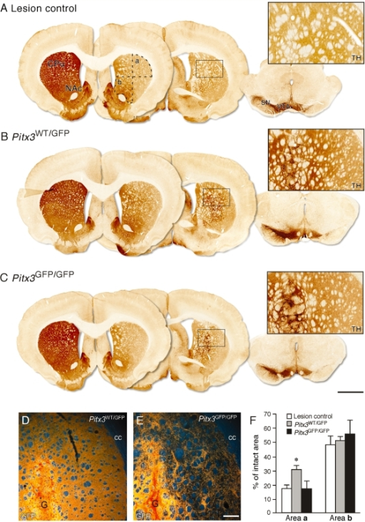 Connectivity of Pitx3WT/GFP and Pitx3GFP/GFP grafts. Immunohistochemistry for TH in representative coronal sections from the ungrafted lesion control (A), Pitx3WT/GFP graft (B), and Pitx3GFP/GFP graft (C) groups, 12 weeks after transplantation. Two sections through the forebrain (∼bregma + 3.0 mm, left section and −2.0 mm, middle section) and one section through the midbrain are shown. The left-hand side of the lesion control brain shows the intact nigrostriatal projection system, while the right-hand side illustrates the substantial loss of TH+ neurons from the substantia nigra and reduction of TH+ terminal staining in the dorsolateral striatum resulting from the terminal 6-hydroxydopamine lesion (A). Dashed lines in (A) identify the dorsolateral (a) and ventromedial (b) quadrants of the striatum used to quantify TH+ fibre density in the three groups. Boxed areas are enlarged and illustrate the level of TH+ terminal staining in the dorsolateral striatum from each group. Part of the grafts, containing intensely TH+ cell bodies, can be seen on the left side of the boxed panels from the two grafted groups (B, C). Darkfield photographs illustrate immunohistochemical detection of GFP in the dorsolateral striatum in Pitx3WT/GFP graft (D) and Pitx3GFP/GFP graft (E) groups. The graft core (G) can be seen in the lower left part of these panels. The average levels of TH+ fibre density in the dorsolateral (area a) and ventromedial (area b) parts of the striatum are shown for the ungrafted lesion control (open bars, n = 8), Pitx3WT/GFP (grey bars, n = 8) and Pitx3GFP/GFP (black bars, n = 7) graft groups (F). The figures are given as a percentage of the TH+ density values obtained in corresponding regions from the intact striatum. In the dorsolateral striatum (area a), the TH+ fibre density was significantly greater in the Pitx3WT/GFP grafted group compared to the lesion control or Pitx3GFP/GFP graft groups (*P < 0.005). There was no significant difference in the level of TH+ fibre density in the ventromedial striatum (area b) between the three groups. CPu = caudate-putamen unit; NAc = nucleus accumbens; cc = corpus callosum; G = graft; SN = substantia nigra; VTA = ventral tegmental area. See main text for details of statistical analyses. Scale: A–C, 2 mm; D and E, 200 µm.