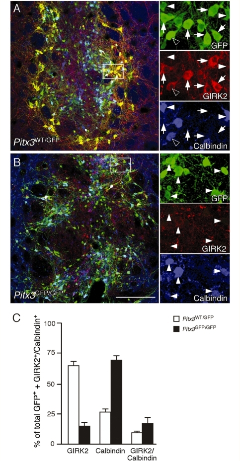 Subtype analysis of dopamine neurons in Pitx3WT/GFP and Pitx3GFP/GFP grafts. Immunohistochemistry for GFP (green), GIRK2 (red) and Calbindin (blue) in coronal sections through the striatum of representative animals from the Pitx3WT/GFP (A) and Pitx3GFP/GFP (B) groups, 12 weeks after transplantation. The boxed areas in the main panels are shown in greater detail as individual colour channels on the left. The Pitx3WT/GFP grafts contained a mix of GFP+ midbrain dopamine subtypes including GIRK2+/Calbindin− (arrows), GIRK2−/Calbindin+ (filled arrowheads) and GIRK2+/Calbindin+ (empty arrowheads) neurons. The Pitx3GFP/GFP grafts were dominated by the GIRK2−/Calbindin+ cell type (filled arrowheads) and contained few GIRK2+ cells (not shown). Quantification of GIRK2+ and Calbindin+ GFP expressing neurons in all grafted animals confirmed that there was a substantial difference in the midbrain dopamine subtype composition between the two graft types, with Pitx3WT/GFP grafts (n = 8; open bars) containing predominately the GIRK2+/Calbindin− subtype and Pitx3GFP/GFP (n = 7; filled bars) grafts containing mainly GIRK2−/Calbindin+ cells. Scale: 200 µm.