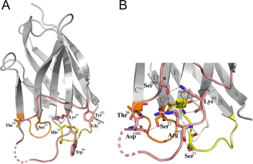 Structure of the llama heavy chain antibody fragment VHH D7.(A) Ribbon representation of D7; the complementarity determining regions (CDR) are highlighted in yellow (CDR1), orange (CDR2) and salmon (CDR3). The first and last residue of each CDR is shown together with the side chain of Trp96 critical for gp120 interaction and neutralization. The dotted line indicates CDR3 residues lacking continuous main chain density for residues Arg100 to Ser100B. (B) A close-up of the CDR interaction network reveals multiple polar interactions between CDR1 and CDR3 as well as CDR2 and CDR3.