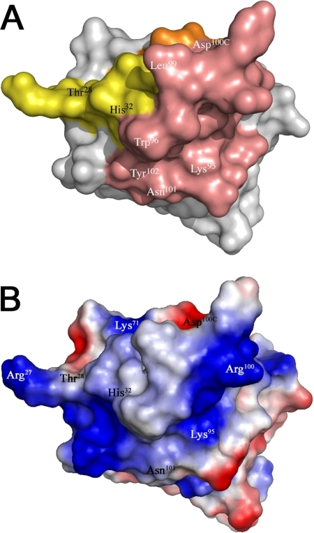 Surface representation of the CDRs.(A) Surface representation of D7 revealing the gp120 docking interface based on gp120 binding and HIV-1 neutralization results. The CDRs are coloured as in figure 1. CDR3 residues affecting gp120 interaction and HIV-1 IIIB neutralization are indicated in white and residue differences between D7 and A12 are labelled in black. (B) Electrostatic potential map of the surface generated by the CDRs.