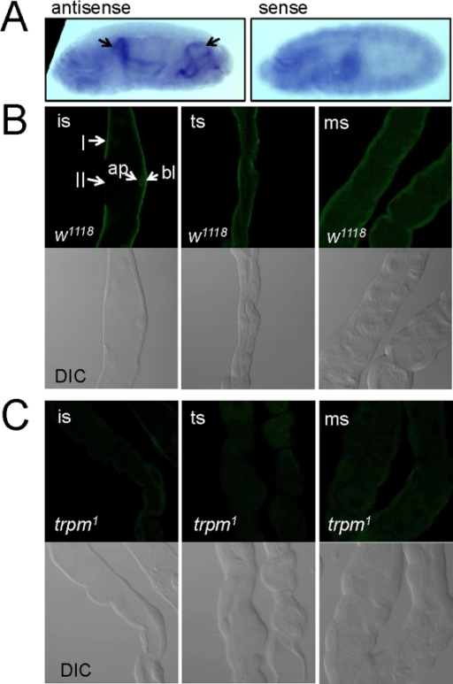 Expression of trpm in Malpighian tubules.(A) Detection of trpm RNA in Malpighian tubules of stage 16–17 embryos by in situ hybridization. Arrows indicate the localization of the anterior and posterior Malpighian tubules in the left panel using the antisense probe. (B) Malpighian tubules from w1118 3rd instar larvae stained with TRPM antibodies. (C) Malpighian tubules from trpm1 3rd instar larvae stained with TRPM antibodies. Abbreviations: ms = main segment, ts = transitional segment, is =  initial segment, I = type 1/principal cell, II =  type 2/stellate/bar-shaped cell. The stainings of the epithelial apical (ap) and basolateral compartments are indicated.