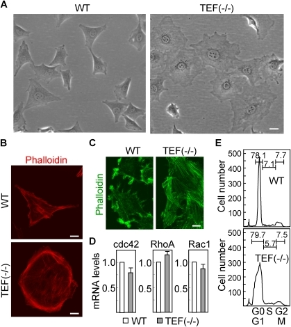 Morphological differences between wild type and TEF (−/−) fibroblasts.(A) The morphology of wild type (WT) and TEF (−/−) fibroblasts in culture was assessed by phase contrast microscopy. Scale bar: 40 µm. (B) Both cell populations were labeled red with phalloidin for staining the actin filaments and visualized by confocal microscopy. Scale bars: 20 µm. (C) Confluent cultures were mechanically disrupted, leaving an area devoid of cells, and fibroblasts were labeled green to determine the actin distribution at the leading edge. Scale bar: 20 µm. (D) The mRNA expression of different Rho GTPases was analyzed by quantitative RT-PCR. The expression levels in TEF (−/−) cells were referred to those in wild type cells. Histograms represent the mean ± SD of three independent experiments. (E) Distribution of cell cycle phases in wild type and TEF (−/−) fibroblasts was determined by flow cytometry after staining nuclei with propidium iodide. The percentage of cells in the different phases, G0/G1, S, and G2/M, is indicated.