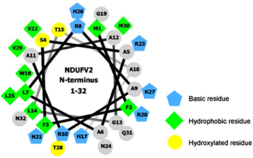 The α-helical wheel diagram of the first 32 amino acids of NDUFV2. The α-helical wheel model for the first 32 residues of NDUFV2 was constructed using Helical wheel projections [39]. The output presents the hydroxylated residues as yellow circles, hydrophobic residues as green diamonds, potentially basic (or positively charged) residues as blue pentagons, and the remaining residues as grey circles.