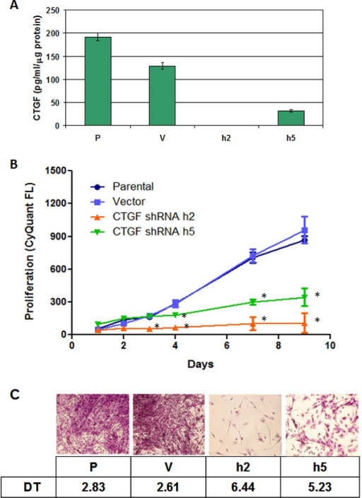 CTGF knock-down with shRNA inhibits serum-dependent cell proliferation of cardiac fibroblasts. Primary cardiac fibroblasts (P) were infected with lentiviruses encoding 2 different CTGF shRNAs (h2 and h5 from OpenBiosystems) or with a lentivirus generated from an empty vector (V) as control. Panel A: CTGF protein expression was measured by ELISA in culture supernatants. Panel B: 96 hrs after infection, cells were re-plated in quadruplicate wells of a 96-well plate in medium containing serum and defined growth supplements and incubated for up to 10 days. Cell proliferation was measured by Cyquant Fluorescense Intensity at the indicated timepoints. Panel C: Parallel cultures of cells were stained with crystal violet at day 10 and doubling time (DT) was determined by linear regression analysis on the data shown in B. * p < 0.001 vs. vector by ANOVA.