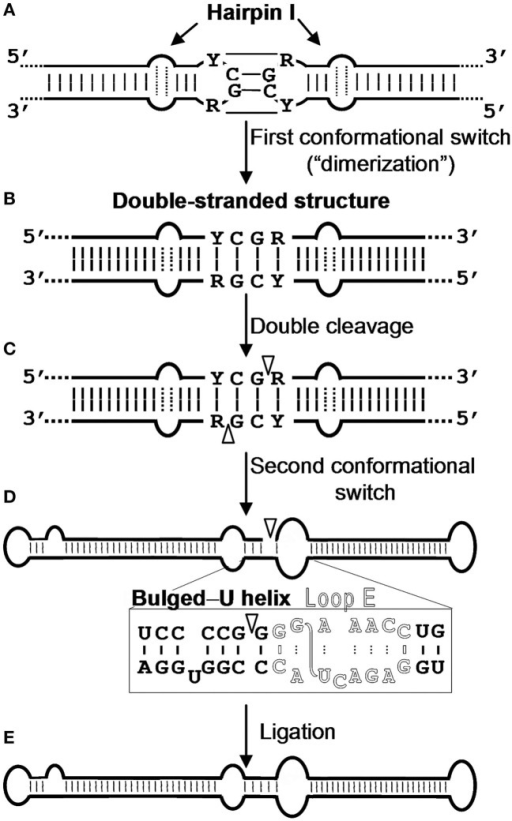 Model for processing in vivo of the oligomeric (+) replicative intermediates of the family Pospiviroidae. The model predicts a kissing-loop interaction between the palindromic tetraloops of two consecutive hairpin I motifs (A), with their stems then forming a longer interstrand duplex (B). This double-stranded structure is the substrate for cleavage at specific positions in both strands (C). Following a second conformational switch, the resulting unit-length strands adopt the extended rod-like structure with loop E (in outlined fonts) and the adjacent bulged-U helix (D), which is the substrate for ligation (E). R and Y refer to purines and pyrimidines, respectively, the S-shaped line denotes the UV-induced cross-link, and white arrowheads mark the cleavage sites in the double-stranded structure and the ligation site in the extended conformation. Reproduced with permission from Gas et al. (2007).