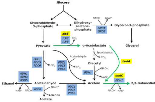 Metabolic pathways for 2 3 butanediol biosynthesis and pyruvate