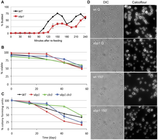 Xbp1 is important for maintaining a reversible quiescent state.(A) Percent budding as a function of time as purified Q cells are returned to fresh YEPD media and re-enter the cell cycle. (B) Long term viability and (C) colony formation of purified Q cells over 8 weeks of incubation in water. (D) Samples were taken from BY6500 wild type (WT) and xbp1 Q cells and 150 minutes after those Q cells were re-fed. Differential image contrast (DIC) and calcofluor-stained bud scars show the budded and unbudded populations. Relevant genotypes indicated (BY6500 wild type, BY6602 xbp1, BY6873 cln3, BY7131 cln3xbp1.).