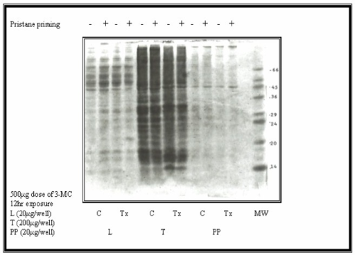 Representative Coomassie blue stained SDS-Page gel of rat Peyer's Patches (PP), THY (T = thymus) and LIV (L = liver) microsomal proteins isolated following treatment with 3-MC (500μg dose; 12hr exposure) and with (+ = 2 wk pristine priming) or (−) without pristane. Samples were loaded at 20μg of protein/well for PP and L, or 200μg of protein/well for THY samples. Control samples (C = no 3-MC) were run in lanes next to the corresponding Tx (treatment with 500μg 3-MC directly into the PP) samples for comparison purposes as shown on the immunoblot in Fig. 7. The mobilities of molecular weight markers (MW) are indicated. Gels were electrophoresed according to the Laemmli method.