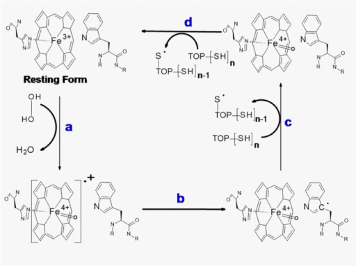 "Proposed mechanism of TOP participation in the redox cycling of myoglobin.In the presence of TOP, steps a and b also occurs and the Mb ""Compound I"" is recycled to the resting form by using TOP thiol groups as a reducing agent (steps c and d)."