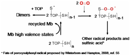 Production of TOP thiyl radical by Mb.The Mb-catalized one-electron oxidation of TOP is expected to generate thiyl free radical and the fate of this free radical is proposed according to reference 55.