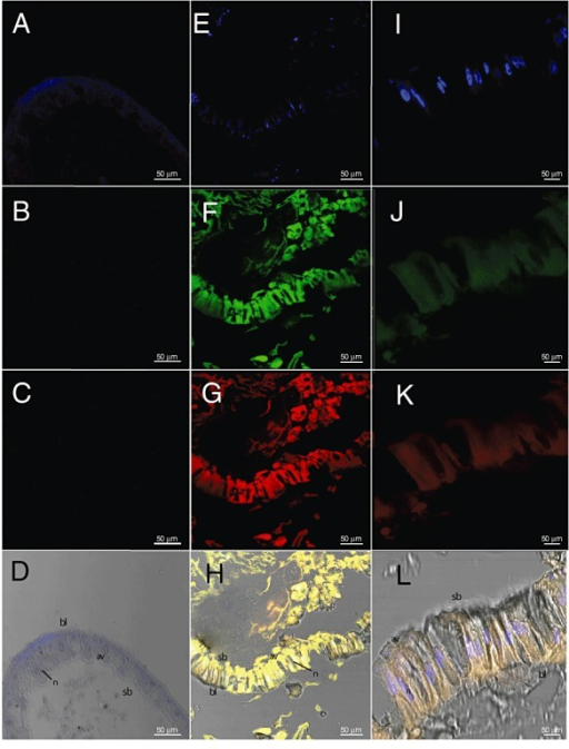 Confocal microscopy images of S. frugiperda larvae. Larvae were fed on leaves of cabbage plants inoculated with sterile NYSM medium (controls: A–D) or with Btk::GFP for 24 h (I–L) and larvae fed on diet containing 1.3 × 103 cells to Btk::GFP for 24 h. (E–H) Images show: fluorescence due to DAPI blue (A, E, I). Fluorescence at 488 nm due to GFP protein (C, G, K). Fluorescence at 594 nm due to anti‐GFP antibody (B, F, J); merged images of DAPI blue, GFP fluorescence and antibody fluorescence (D, H, L). The following structures are labelled: av, apical vesicles; bl, basal lamina; n, nucleus; sb, striated border.