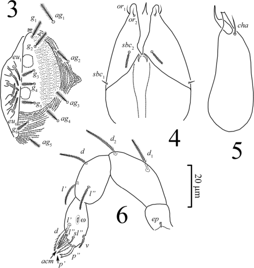 Pseudoeupodes porosus Khaustov, gen. n., sp. n., female: 3 genital area 4 subcapitulum 5 chelicera, antiaxial aspect 6 palp, antiaxial aspect.