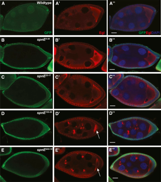 Dynein motor complex aggregates form in some, but not all, spn-E mutant ovaries. spn-E mutant germline clones are marked by the absence of GFP. All egg chambers were stained with α-GFP (green) to mark clones, α-Egalitarian (EGL) (red), and the DNA dye DAPI. In wild-type egg chambers, EGL is dispersed throughout the nurse cells and localizes to the oocyte (A-A′′). spn-E4-48 (B-B′′), spn-E23-17 (C-C′′), as well as spn-E9A2-17 and spn-E66-21 (not shown) show wild-type EGL localization. In spn-E155-55 DExH box mutant egg chambers (D-D′′), EGL forms aggregates throughout the egg chamber. This phenotype is present in spn-E9A9-18 mutant egg chambers (E-E′′) as well as the DExH box alleles: spn-E2A9-14, spn-E7G2-5, spn-E8D4-11, and the remainder of the spn-E alleles that do not express detectable protein (not shown). Note the small size of the oocyte in spn-E155-55 and spn-E9A9-18 egg chambers (arrow in D′ and E′). Scale bars = 20 μm.