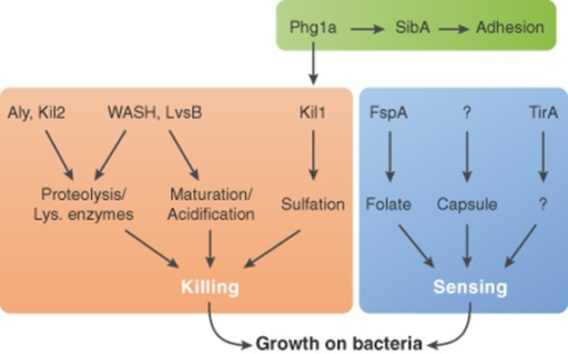 Molecular mechanisms involved in Dictyostelium sensing and killing of bacteria. Sensing of Klebsiella bacteria involves different players, notably FspA for bacteria-secreted folate, and a yet-unknown receptor of capsule components. TirA may also play a regulatory role in sensing. Mechanisms related to intracellular killing have been more extensively unravelled. Lysosomal activity (as denoted by the proteolytic efficiency inside the phagosome) and phagosomal biogenesis (including proper acidification and maturation) are major factors implicated in efficient killing. Proper regulation of adhesion and sulfation processes has also been implicated in successful killing.