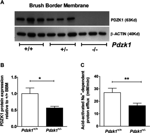 PDZK1 protein expression and NHE3 activity in Pdzk1+/− mice. a PDZK1 protein expression in the small intestinal BBM of Pdzk1+/+, +/−, and −/− mice was analyzed by Western blotting. b Protein bands were quantified using image J software and normalized against β-actin. PDZK1 protein abundance was more than 50 % reduced in the BBM from Pdzk1+/− compared to +/+ mice. c Acid-activated NHE3 activity in cryptal mouth enterocytes from Pdzk1+/− colonic crypts was significantly lower than in colonocytes from control littermates. 6−8 crypts were measured from each colonic crypt preparations and averaged for each of the five pairs of mice. Bar graphs are represented as mean ± SEM. *P < 0.05, **P < 0.005, and ***P < 0.0005
