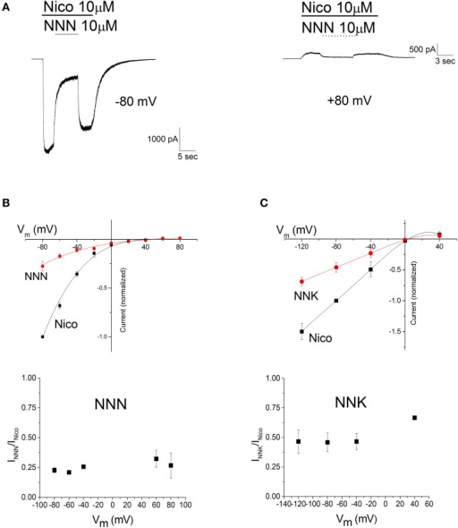 The effects of NNN and NNK are not voltage-dependent. (A) Typical current traces obtained as illustrated in Figure 3, except that trials were carried out at different Vm's. For briefness, only the traces obtained at −80 and +80 mV are displayed. Bars mark time of application of 10 μM nicotine (Nico, continuous) and 10 μM NNN (dashed). (B). Top panel: current-voltage relations obtained in the absence (squares) and in the presence (circles) of NNN. Data points are average steady state current densities measured at the indicated Vm and normalized to the value obtained at -80 mV (with a reversed sign, for consistency with the usual convention of displaying inward current as negative). Data summarize the results of nine independent experiments. Continuous lines are polynomial curves best fitting the data points. No correction was applied for junction potentials. Bottom panel: the fractional block produced by NNN is plotted as a function of Vm. Data points are average steady state currents in the presence of NNN (INNN), divided by the current in the absence of NNN (INico). The data points around Vrev were omitted (see the main text). No significant difference was observed among the results obtained at different Vm's. (C) Top panel: same as in (C), for NNK (1 μM, in the presence of 100 nM nicotine). Bottom panel: the fractional block produced by NNK as a function of Vm was calculated as illustrated for NNN in (B), except that the tested Vm's were: −120/−80/−40/0/+40. Once again, no significant difference was observed among the results obtained at different Vm's.