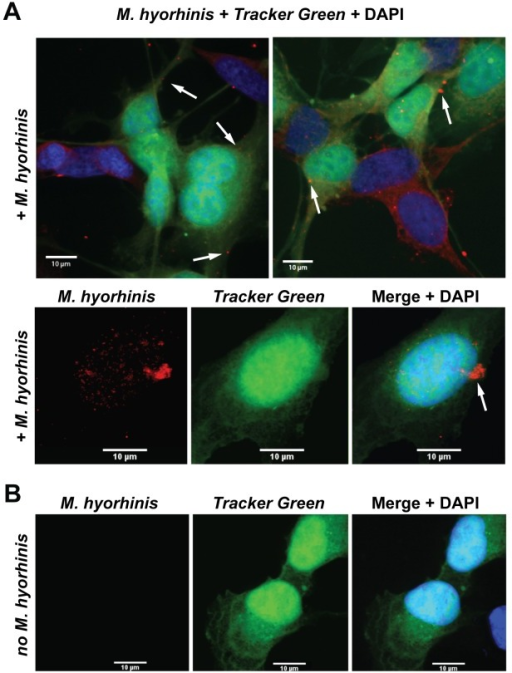 M. hyorhinis transmission assay.A, Confocal microscopy of HTR8/SVneo trophoblasts infected with M. hyorhinis (red) jointly with the naïve, fluorescently labeled trophoblasts (green). Top panel, HTR8/SVneo trophoblasts were infected for 2 h with M. hyorhinis. Gentamicin (300 μg/ml) was added to the samples for an additional 4 h. Then gentamicin was removed and the naive fluorescently labeled trophoblasts were added to the samples. After 24 h, the secondary infection of the naïve trophoblasts was recorded. The arrows point to the sites of the secondary infection in the fluorescently labeled trophoblasts. B, The non-merged images of the fluorescently labeled trophoblast (Tracker Green) infected by M. hyorhinis (red). DAPI, blue. Bottom panels, uninfected trophoblast cell control.
