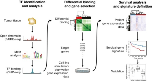 Genomics-based pipeline for biomarker discovery and validationTissue samples were processed for FAIRE-seq, and transcription factor (TF) motifs in open chromatin regions were analyzed. Selected transcription factor was mapped with ChIP-seq (in this case androgen receptor) to identify sites that are differentially bound between two sample groups. The target genes of the differential binding regions were coupled to gene expression and survival data and further refined into a minimal gene signature, which was validated in a number of gene expression datasets.