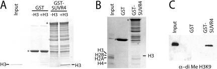 SUVR4 interaction with histones. (A) Coomassie stained SDS–PAGE gel after GST pull-down of recombinant histone H3 using full-length GST-SUVR4. GST alone, and mock pull-down reactions without H3 input (-H3), were used as a negative controls. The undegraded GST-fusion proteins are indicated by asterisks. (B) Coomassie stained SDS–PAGE gel after GST pull-down with full-length GST-SUVR4 using calf thymus core histones as input. GST was used as a negative control. The undegraded GST-fusion proteins are indicated by asterisks. (C) Western analysis of the reactions in (B) using a diMeH3K9 antibody.