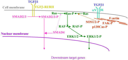Hypothesis about an alternate TGFβ1 signaling pathway via αVβ6 integrin, independent of RGD. This pathway may be required for full TGFβ1 induced transcriptional activation, which explains the TGFβ1 sensitivity of those cells lacking DPC4/SMAD4 function that still react with growth inhibition.