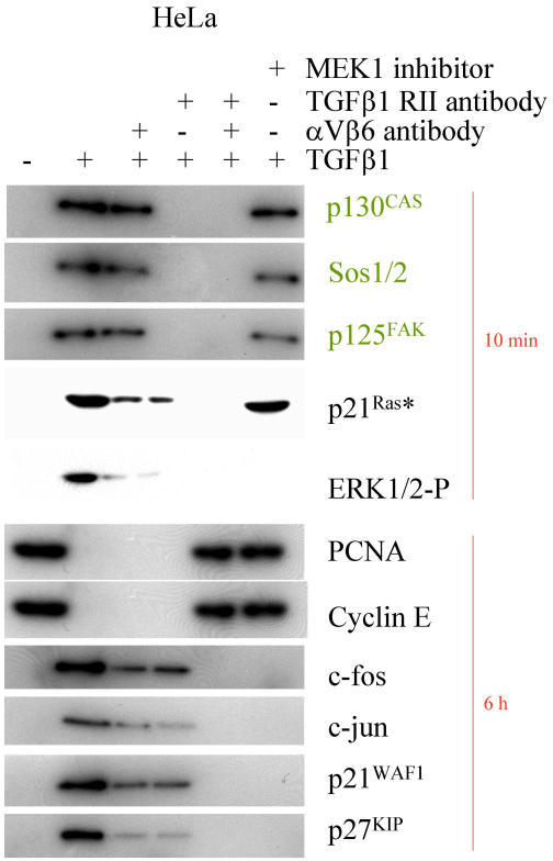 Cell cycle genes in response to TGFβ1. Western Blot analysis of HeLa cells stimulated with 10 nM of mature TGFβ1 for the time indicated. Cytoskeletally anchored proteins are differentially marked. In part the cells were preincubated with αV- and β6-antibodies (1:100 each for 30 min), with a TGFβ-RII antibody (15 μg/ml for 30 min), cytochalasin D, BAPTA AM and MEK1 inhibitor PD98059, respectively.