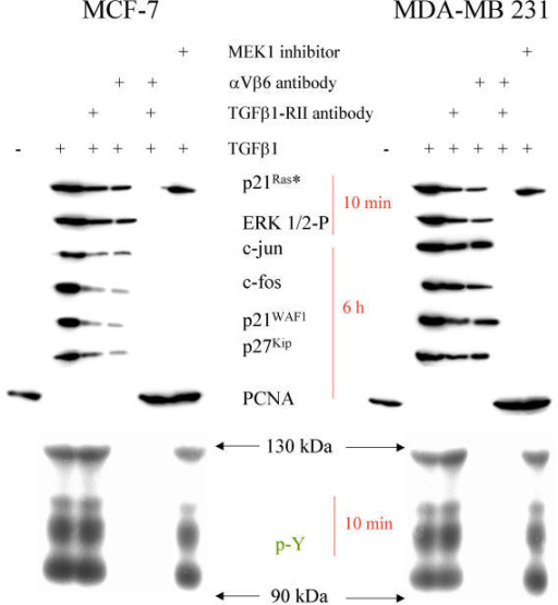 Cell cycle genes in response to TGFβ1. Western Blot analysis of MCF-7 and MDA-MB 231 cells as indicated after stimulation with TGFβ1 for the time indicated. Cytoskeletally anchored proteins are differentially marked. In part the cells were preincubated with αV- and β6-antibodies (1:100 each for 30 min), with a TGFβ-RII antibody (15 μg/ml for 30 min), cytochalasin D, BAPTA AM and MEK1 inhibitor PD98059, respectively.