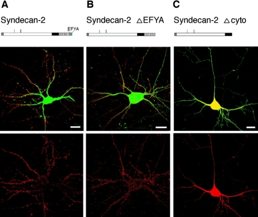 Cytoplasmic domain  of syndecan-2, but not COOH-terminal PDZ binding motif, is  required for the targeting of  syndecan-2 to dendritic spines.  Hippocampal neurons were  transfected with full-length syndecan-2 (A), with the syndecan-2 ΔEFYA deletion mutant  (B), or with the syndecan-2  Δcyto mutant (C). Neurons  were cotransfected with GFP as  in Fig. 6. Cells were analyzed 7 d  after transfection by confocal  microscopy after immunostaining with anti–syndecan-2 antibodies which recognize the  extracellular domain of syndecan-2 (red). Both full-length  syndecan-2 (A) and the syndecan-2 ΔEFYA deletion mutant  (B) are sorted and expressed on  dendritic spines/protrusions. In  contrast, the syndecan-2 Δcyto  deletion mutant does not show  any specific sorting, being distributed diffusely on entire neuronal surfaces (C). Note: correct  cell surface folding of syndecan-2  Δcyto deletion mutant was confirmed (see Results). Bars, 20 μm.