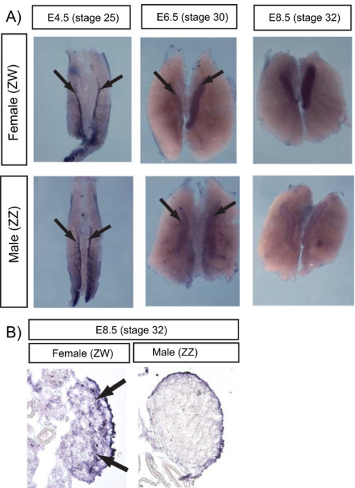 Gonadal expression of chicken WNT4, assessed by in situ hybridization. A) cWNT4 is expressed in the gonads of both sexes at E4.5 (prior to sexual differentiation) (arrows). Expression is similar between the sexes at E6.5 (near the beginning of sexual differentiation), but is down-regulated in males (ZZ) by E8.5. B) Transverse sections of over-stained E8.5 whole mounts showing cWNT4 expression in the outer region of the female gonad. Weak staining in the male gonad represents background.