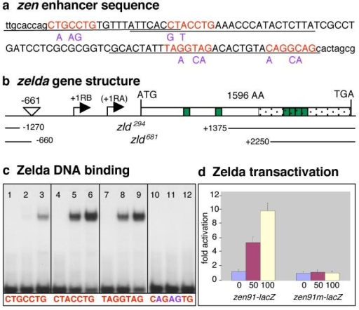 TAGteam sites bind Zld and mediate transcriptional activation(a) DNA sequence of the 91 bp zen enhancer (uppercase) plus surrounding sequences (lowercase). Base substitutions are in purple. (b) Schematic organization of the zld locus (CG12701; Flybase) with the two predicted transcription start sites, RB and RA. The P{RS3}UM8171-3 insertion site is between -661 and -660. The nucleotides deleted in zld294 and zld681 are indicated as blank space between solid lines. (c) Zld binding to oligonucleotides containing different TAGteam sites (denoted beneath each section of the gel). The first lane in each section contains free probe. The second lane contains probe plus 10ng GST-ZldC, the third 30 ng GST-ZldC. (d) S2 cells were transfected with 0 ng (blue bar), 50 ng (red bar), or 100 ng (yellow bar) of plasmid expressing zld under control of the inducible metallothionein promoter, the zen91-lacZ or zen91m-lacZ reporter plasmids, and the luciferase control. Error bars, s.e.m.; n=3.