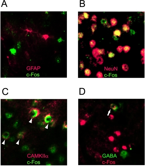 Double-staining with c-Fos and other antibodies.Images were taken from the barrel field of the mice in the test group. (A) c-Fos (green) and GFAP (red). No co-localization was observed. (B) c-Fos (green) and NeuN (red). Most cells were double-stained (yellow). (C) c-Fos (green) and CAMKIIα (red). Some cells were double-stained (arrow heads). (D) c-Fos (red) and GABA (green). Some cells were double-stained (arrows).