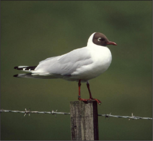 Black-headed Gull (Larus ridibundus).