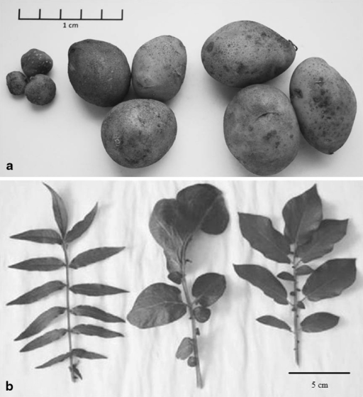 Exemplary morphology of a tubers and b leaves of somatic hybrid and its parents: mch/39, mch/39 (+) dH Bard and dH Bard (from left to right, respectively)