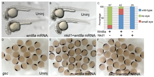 Nkd1 is sufficient to antagonize ectopic Wnt8a.Overexpression of Wnt8a (25pg) results in an eyeless phenotype that can be rescued by co-injection of nkd1 (A, B) which is quantified in (C). Numbers above each column represent n values. Overexpression of high Wnt8a (200pg) results in ectopic gsc expression along the ventral-lateral domain at 50% epiboly (E). Co-injection of high wnt8a with nkd1 mRNAs dramatically reduces the ectopic gsc expression, but leaves the putative endogenous gsc domain intact (F).