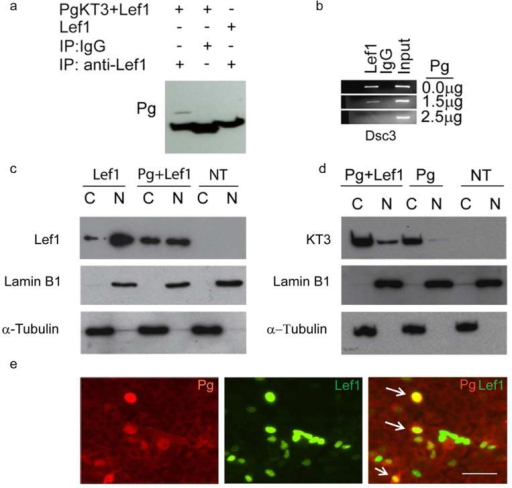 Pg co-localizes in the nucleus with Lef1 and disrupts TCF/Lef transcription factor binding to the Dsc3 promoter(a) Co-Immunoprecipitation (Co-IP) assays demonstrating an interaction between Pg and Lef-1. (b) ChIP assays demonstrating that increasing amounts of Pg (measured in g plasmid transfected) interfere with the binding of Lef-1 to the Dsc3 promoter. Input, chromatin used for immunoprecipitation; IgG, IP with unspecific IgG. (c, d) Western blot analysis of MDCK cells transfected with Pg and Lef-1 (transfection constructs shown on top; NT, not transfected). The nuclear (N) and cytoplasmic (C) distribution of the proteins is shown. Antibodies used to detect Lef-1 and the KT3-tagged plakoglobin construct are shown on the left sides of the blots. Our Lef-1 antibody does not detect endogenous Lef-1 expression in MDCK cells. Lamin B1 (nuclear fraction) and α-tubulin (cytoplasmic fraction) antibodies were used as controls. (e) Immunofluorescence microscopy of MDCK cells transfected with Pg and Lef-1. The antibodies used for staining are indicated. Note the nuclear co-localization of Pg and Lef-1 in several cells (arrows). Bar, 50 μm