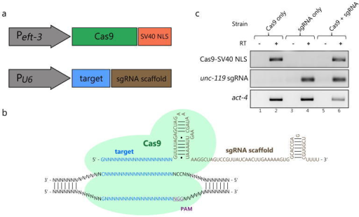 A set of vectors that drive expression of Cas9 and sgRNAs in C. elegans. (A) The C. elegans eft-3 promoter drives transcription of Cas9 with a 3′ SV40 nuclear localization sequence. A pol III promoter (derived from a U6 snRNA locus) drives transcription of the sgRNA, which contains a target sequence and a scaffold sequence. (B) A schematic illustration of Cas9 interacting with sgRNA and its genomic target. (C) RT-PCR results demonstrating expression of Cas9 and sgRNA transcripts. Total RNA was tested from strains carrying Cas9 vector alone (lanes 1 and 2), unc-119 sgRNA vector alone (lanes 3 and 4), and both vectors (lanes 5 and 6) with primers specific for Cas9 (top panel) or unc-119 sgRNA (bottom panel). For all samples, control reactions were run in the absence of Reverse Transcriptase (-RT; lanes 1, 3, and 5).