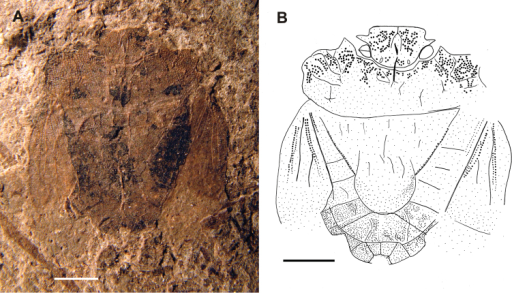 Habitus of Acanthocephalonotum martinsnetoi gen. n. et sp. n. Holotype specimen MAPBAR 4137 A Photograph B line drawing. Scale bars represent 1 mm.