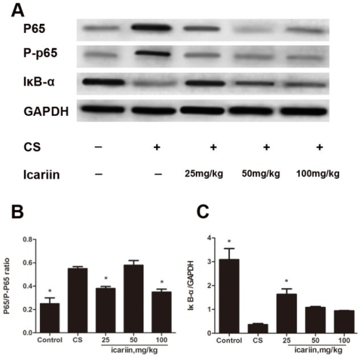 Icariin inhibits NF-κB activation in CS-induced inflammation.Mice were exposed to CS for 3 months and dosed with icariin (25, 50 and 100 mg/kg) or dexamethasone (1 mg/kg). (A) Nuclear proteins were extracted from lung tissue and p65, p-p65 and IκB-α protein expression was measured by Western blot. The phosphorylation of p65 (B) and the degradation of IκB-α (C) were calculated using gray value ratio of p65/p-p65 and IκB-α/GAPDH, respectively. Data are mean ± SEM (n = 3). * P<0.05 vs. CS-exposed mice.