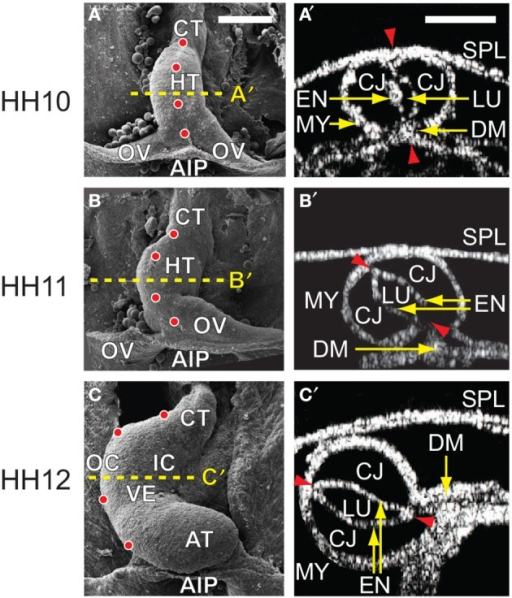 Cardiac c-looping in chick embryo. (A–C) SEM images of embryonic chick hearts during c-looping (ventral view). (Reprinted from Shi et al., 2014 with permission of ASME.) The originally straight heart tube (HT) at HH10 in (A) bends ventrally and rotates rightward, transforming into a c-shaped tube at HH12 in (C). Note that artificial labels (red dots) along the ventral midline of the HT at HH10 move to the outer curvature of the HH12 heart. (A′–C′) Rotation of the HT is shown by the orientation of the elliptical lumen (red arrowheads) in OCT cross sections taken midway along the length of the HT [yellow dashed lines in (A–C)]. AIP, anterior intestinal portal; AT, atrium; CJ, cardiac jelly; CT, conotruncus; DM, dorsal mesocardium; EN, endocardium; IC, inner curvature; LU, lumen; MY, myocardium; OC, outer curvature; OV, omphalomesenteric vein; SPL, splanchnopleure; VE, ventricle. Scale bars: 200 μm. Yellow arrows indicate the annotated anatomic structures.