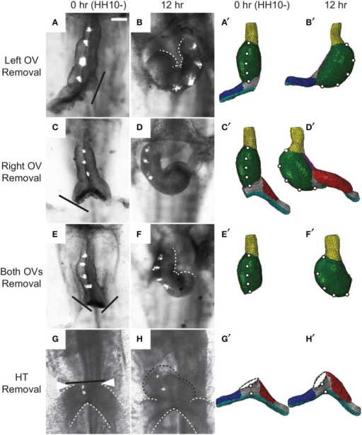 Effects of removing omphalomesenteric veins (OVs) or heart tube (HT). (A–H) Bright-field images of experimental perturbations reprinted from Ramasubramanian et al. (2008) (A–F) and Kidokoro et al. (2008) (G,H) with permissions of ASME and Wiley. (A,C,E,G) HH10- hearts with (A) the left OV, (C) the right OV, (E) both OVs, or (G) the HT removed. For access to the heart, the splanchnopleure was removed first. Black lines denote the cuts. To help visualize rotation, fluorescent labels were injected along the ventral midline of the heart. (B,D,F,H) The same hearts after 12 hr of culture. White dotted lines in (B) and (F) outline the inner curvature of the HT. (A′–H′) Corresponding finite-element simulations. The model predicts all of the final shapes reasonably well, including the leftward looping (B,B′). Note that a portion of the HT [black dotted line in (H)] regrew above the interventricular grooves [arrowheads in (G)] in the experiment through OV fusion, which is not included in the model (H′). Scale bar: 200 μm.