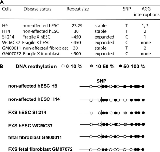FXS hESCs contain the SNP variant C instead of T and a methylation pattern surrounding the SNP that is similar to the DNA methylation pattern in nonaffected hESCs. (A) Table shows that DNA sequence analysis of 1-kb genomic DNA containing the SNP revealed that nonaffected hESCs H14 and H9 and fetal fibroblast GM00011 contain the SNP variant T and FXS hESCs SI-214 and WCMC37 and FXS fetal fibroblast GM07072 contain SNP variant C. The repeat sizes and AGG interruptions were determined by Asuragen PCR analysis. (B) DNA methylation pattern of the 367-bp genomic DNA segment containing the SNP was analyzed in nonaffected hESCs H14 and H9 and fetal fibroblast GM00011 and FXS hESCs SI-214 and WCMC37 and FXS fetal fibroblast GM07072. For each cell line, 10 DNA methylation analyses were performed at the genomic DNA segment including the SNP (containing 10 CpG sites and two CpA sites). A white circle indicates <10% CpG methylation, and gray circles indicate if <50% CpG methylation was detected. Filled black circles mark the positions of ≥50% methylated CpG sites.