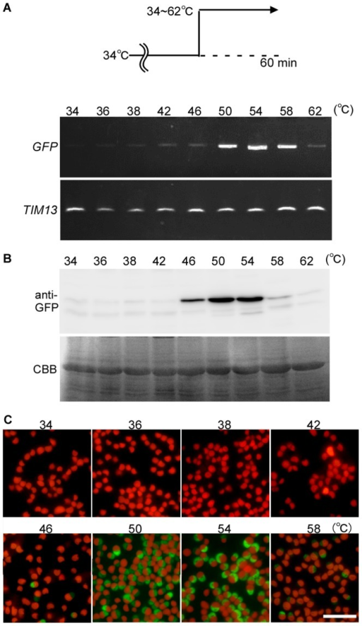 Optimum temperature for heat shock inducible expression in the stable transformants.The stable S-200 transformant (Figure 4) cultured at 34°C was shifted to 34∼62°C and cultured for 60 min. (A) Semi-quantitative RT-PCR showing the GFP mRNA level. TIM13 (CMB148C) was used as a quantitative control. (B) Immunoblotting with the anti-GFP antibody showing the GFP protein level. CBB staining of the PVDF membrane is shown as a loading control. (C) Micrographs showing the GFP fluorescence and autofluorescence of chlorophyll (red). The scale bar is 10 µm.