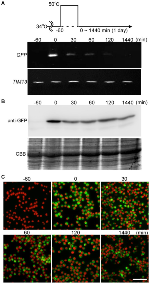 Change in the levels of GFP mRNA and GFP protein after 1-h 50°C heat shock in the stable transformants.The stable S-200 transformant (Figure 4) cultured at 34°C (−60 min) was shifted to 50°C for 1 h (0 min) and then returned to 34°C. (A) Semi-quantitative RT-PCR showing the GFP mRNA level. TIM13 (CMB148C) was used as a quantitative control. (B) Immunoblotting with the anti-GFP antibody showing the GFP protein level. CBB staining of the PVDF membrane is shown as a loading control. (C) Micrographs showing the GFP fluorescence and autofluorescence of chlorophyll (red). The scale bar is 10 µm.