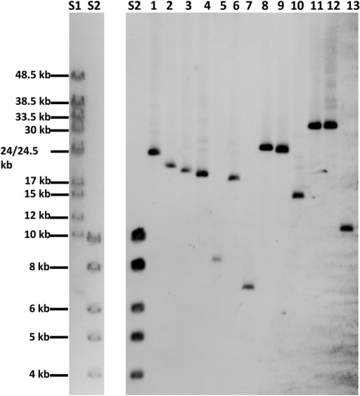 Southern analysis of the CUP1 genes in 13 yeast strains. Genomic DNA from each strain was treated with EcoRI. There are no recognition sites for EcoRI within the CUP1 repeats (Figure 2A). The fragments were separated by gel electrophoresis, transferred to a membrane, and hybridized to a probe containing the CUP1 sequences. The lanes labeled S1 and S2 on the left side of the figure are ethidium bromide-stained fragments representing size standards (Hyperladders VI and I from Bioline). S2 in the gel on the right side of the figure is the same ladder hybridized to a ladder-specific probe. The samples in lanes 1−13 are: 1 (YJM189), 2 (YJM271), 3 (YJM456), 4 (YJM693), 5 (YJM969), 6 (YJM972), 7 (YJM978), 8 (YJM996), 9 (YJM1549), 10 (YJM1307), 11 (S288c), 12 (W303-1A), and 13 (YJM789). The fragment sizes in lanes 1−13 are in Table 1.