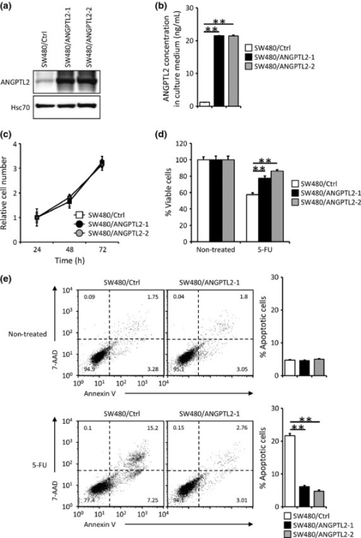 Angiopoietin-like protein 2 (ANGPTL2) expression decreases 5-fluorouracil (5-FU)-induced apoptosis in colorectal cancer cells. (a) Representative images showing Western blot analysis of SW480 control cells (SW480/Ctrl) and ANGPTL2-expressing SW480 cells (SW480/ANGPTL2-1 and -2) with an ANGPTL2 antibody. Hsc70 serves as an internal control. (b) ANGPTL2 protein concentrations in the culture medium of SW480/Ctrl, SW480/ANGPTL2-1, and SW480/ANGPTL2-2 cells (n = 3). (c) The relative number of proliferating cells (SW480/Ctrl, SW480/ANGPTL2-1, and SW480/ANGPTL2-2) at indicated time points during in vitro culture (n = 3). (d) Percentage of viable cells among non-treated (left) or 5-FU treated (right) SW480/Ctrl, SW480/ANGPTL2-1, or SW480/ANGPTL2-2 cells (n = 4). (e) FACS analysis of apoptotic cells among non-treated (upper) or 5-FU-treated (lower) SW480/Ctrl, SW480/ANGPTL2-1, or SW480/ANGPTL2-2 cells based on analysis of 7-aminoactinomycin D (7-AAD) and annexin V. Right panels show quantitative analysis of the percentage of apoptotic (annexin V-positive) cells (n = 3). Error bars show SEM. **P < 0.01.