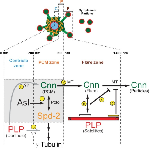 Model of PLP-Cnn coregulation at interphase centrosomes. Diagram depicting centrosome scaffold formation during interphase. Our data support an interphase-specific Cnn scaffold in the interphase flare zone that is organized by PLP satellites. See text for details.