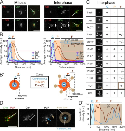 Reorganization of the centrosome structure in interphase. (A) SIM images of WT embryos stained for the indicated proteins. The presence (arrows) and absence (arrowheads) of γTub within Cnn flares is shown. (B) Mean radial intensity distribution of centrosome proteins in mitosis (left) and interphase (right) calculated from line scans derived from n = 30–110 centrosomes (broken lines in A). Shaded areas show the centriole (C, blue), PCM (P, orange), and flare (F, brown) zones as defined by the outer edges (OE) of Asl, γTub, and Cnn, respectively (see Materials and methods). The asterisk denotes satellite or flare measurement. (B′) Diagram of centrosome zones at mitosis (left) and interphase (right). (C) Confocal projections of the indicated proteins assayed for localization to the C, P, and F zones; +, present; −, absent; and +/−, low or variable levels; *, protein detected by GFP transgene. See Fig. S1 C for contrast-enhanced versions of Sas4, Bld10, Plk4, Polo, and Spd2. Open arrowheads show low localization of protein to the flare zone; closed arrowheads show Polo extending into the PCM zone. The brown arrowhead highlights the strong localization of PLP to the flare zone. (D) SIM image of a WT interphase centrosome with a Cnn flare (bracket); arrows show PLP at the centriole (blue) and satellites (brown). Line scan (broken line, D′) shows representative distribution relative to the centriole center. Bars: (A and D) 2.5 µm; (C) 1 µm.