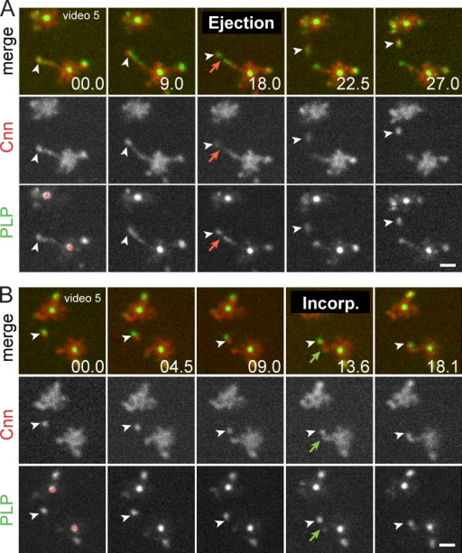 Cnn and PLP are packaged together into dynamic flares. (A) Live PLPFL and Cnn-mCherry at two centrosome pairs within a single embryo show coincidence (arrowheads) at the tip of an extended flare. Red arrows show particle release. (B) Particle associates with existing PCM (green arrows). The asterisks mark the centriole. Time is given in seconds. Bars, 1 µm.