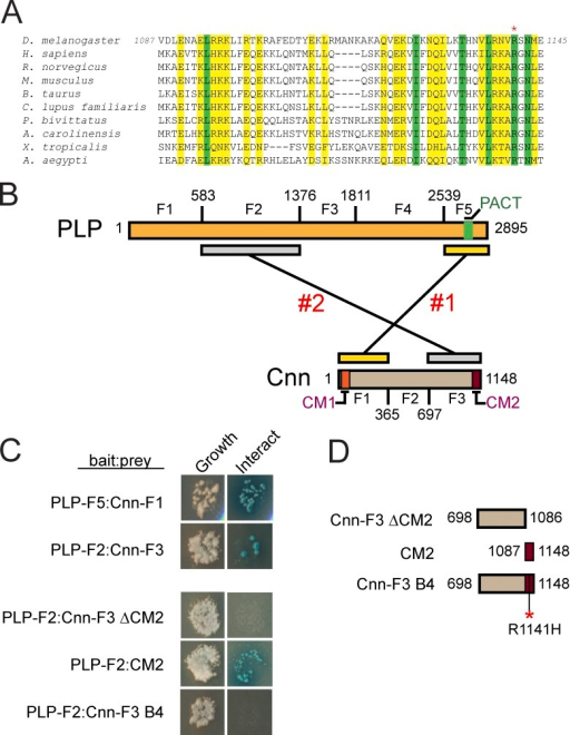 Identification of two sites of direct interaction between Cnn and PLP. (A) ClustalW multiple sequence alignment of the Cnn CM2 motif; similar (yellow) and identical (green) residues are shown. The asterisk shows an invariant arginine mutated in cnnB4 mutants. (B) Graphic showing PLP and Cnn truncations used in Y2H. Two distinct interaction sites are shown. (C) Y2H assays for growth (left) and interaction (right; Materials and methods). (D) Graphic showing truncations of Cnn-F3 used for interaction refinement. The asterisk shows the R1141H mutation that mimics the cnnB4 mutation.
