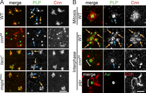 Localization of PLP to satellites requires Cnn CM2. Embryos were stained for the indicated proteins and imaged by confocal microscopy (A) or SIM (B). PLP satellites (orange arrows) are present in all genotypes but cnnB4 mutants, which resemble mitotic centrosomes. The PLP centriole pool is present in all genotypes (blue arrows). plp− and cnnB4 mutants do not properly assemble PCM around the centriole (brackets). Arrowheads show a cytoplasmic particle or rare PLP satellite in cnnB4 mutant. Bars: (A) 2.5 µm; (B) 1 µm.